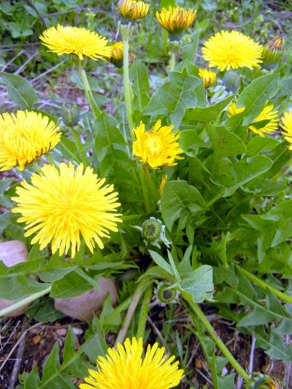 Photo of Dandelion Green Tea Advantages in your Life