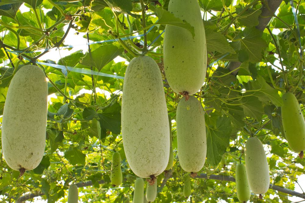 Photo of Lauki and its Wonders; All about Bottle Gourd